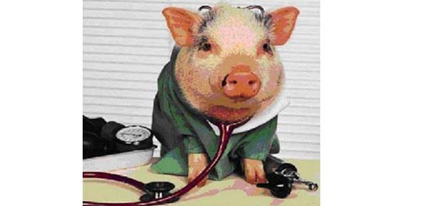 Pig-Doctor2.jpg