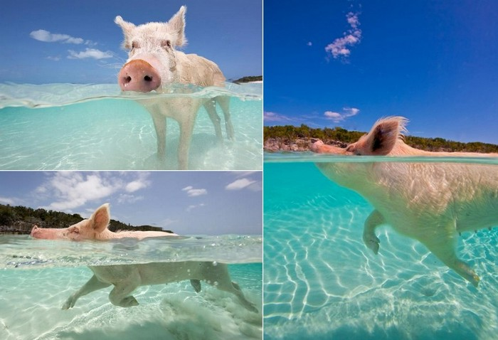 swimming_pigs_big_major_cay_3